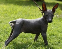 the Peruvian hairless dog